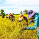CAMBODIA HAS SUSPENDED ALL WHITE RICE AND PADI EXPORTS STARTING APRIL 5, 2020